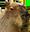 :kapibara: